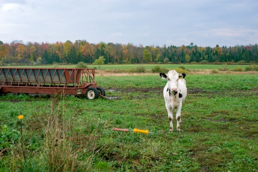 wisconsin cow photography